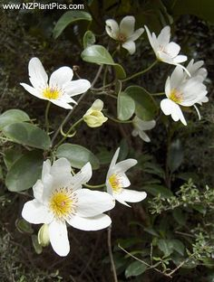 Clematis paniculata NZ native bush Clematis, puawhananga, white Clematis - for the fence Garden Landscape Design, Plants, White Clematis, Native Plants, Beautiful Flowers, Landscaping With Rocks, Native Garden, Plant Photography, Clematis Paniculata