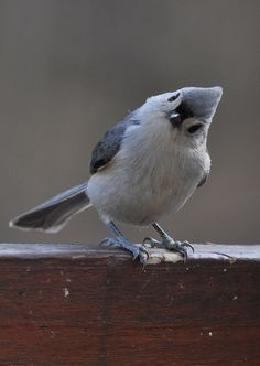 Hello !   Tufted Titmouse - Love these little guys