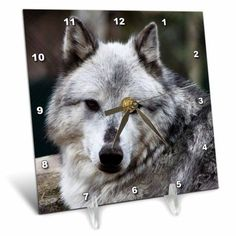 3dRose Gray Wolf looking straight at you, Desk Clock, 6 by 6-inch