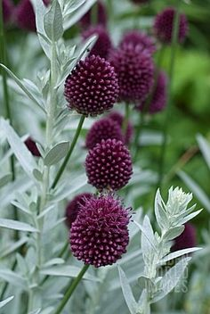 I love this combo of silver artemisia (fragrant) & burgundy allium.   Check out a fabulous board called Our Ornamental Allium Garden at address below.   https://www.pinterest.com/TheMuddyKitchen/our-ornamental-allium-flower-garden/