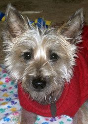 Honora in NY is an adoptable Cairn Terrier Dog in Whitesboro, NY. .