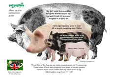 The Ultimate Visual Size Comaparison Guide to Micro Mini & Tea Cup Pigs by Petpiggies Read the full story at our blog www.petpiggies.co.uk