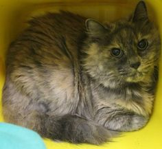 Intake: 9/30 Available: Now  NAME: Chubber  ANIMAL ID: 29791400 BREED: DMH  SEX: Female  EST. AGE: 7 yrs  Est Weight: 9.12 lbs  Health:  Temperament: Friendly ADDITIONAL INFO: O/S  RESCUE PULL FEE: $39
