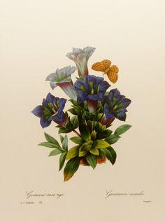 Botanical Print, Redoute Print No. 45