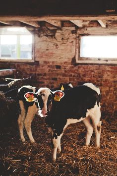 """""""On a factory beef or dairy farm, the main staples of a cow's diet are corn and… Cute Baby Cow, Baby Cows, Cute Cows, Cute Babies, Farm Animals, Cute Animals, Fluffy Cows, Mundo Animal, Livestock"""
