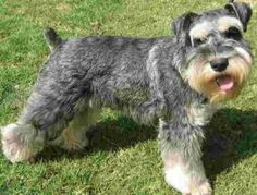 Ranked as one of the most popular dog breeds in the world, the Miniature Schnauzer is a cute little square faced furry coat. It is among the top twenty fav Miniature Schnauzer Black, Miniature Dog Breeds, Mini Schnauzer, Standard Schnauzer, Schnauzer Grooming, Schnauzer Breed, Boston Terrier, Yorkshire Terrier, Samoyed