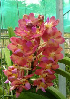 Jardín de orquideas en Kuching, Borneo