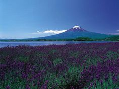 A purple mountain seen from a sea of purple flowers Mount Fuji