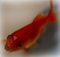goldfish - 金魚 - color, via Flickr.