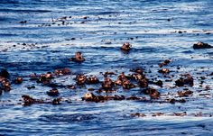 Can an abundance of sea otters help reverse a principal cause of global warming? A new study by two UC Santa Cruz researchers suggest that a thriving sea otter population that keeps sea urchins in check will in turn allow kelp forests to prosper. The spreading kelp can absorb as much as 12 times the amount of CO2 from the atmosphere than if it were subject to ravenous sea urchins, the study finds.