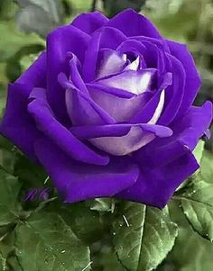 25 ideas for flowers purple roses Beautiful Flowers Wallpapers, Beautiful Rose Flowers, Rare Flowers, Exotic Flowers, Amazing Flowers, Lavender Roses, Purple Flowers, Red Roses, Rose Violette