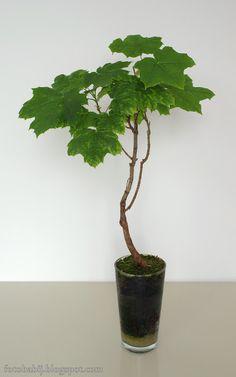 Darmowe zdjęcia na tapety, e-kartki, sentencje... Free Photos : Klon zwyczajny bonsai w szklance Wallpaper Full HD...