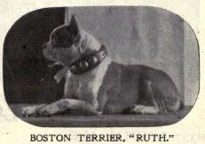 1902 Boston Terrier
