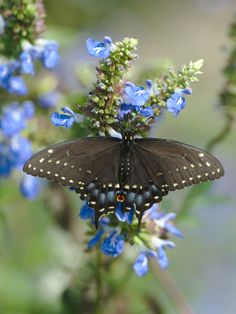 Papilio polyxenes Female Black Swallowtail seen in Battery Park the south end of Manhattan by Eric LeBlond