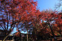 高画質 鷺森神社 紅葉 写真 見ごろ 秋 京都