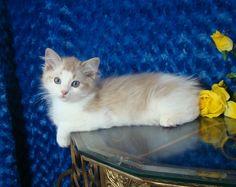 Colt Seal Bicolor Lynx Mink Male Ragdoll - Ragdoll Kitten for Sale - from www.RagdollKittens.com