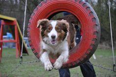 Comete, chien Berger australien