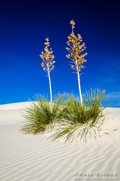 Soaptree Yucca (Yucca elata) and dunes, White Sands National Monument, New Mexico USA / © Russ Bishop ~ Click image to purchase a print or license