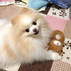A lifetime of happiness is in store for you. | 7 Pomeranians Who Bring You Good Fortune