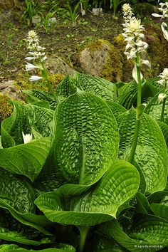 Hosta 'Black Hills' - Funkia