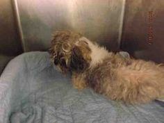 SUPER URGENT Manhattan Center NEFERTEM – A1081273  ***POSSIBLY BLIND***  FEMALE, WHITE / GRAY, SHIH TZU MIX, 8 yrs STRAY – EVALUATE, NO HOLD Reason STRAY Intake condition EXAM REQ Intake Date 07/14/2016, From NY 10454, DueOut Date07/17/2016,