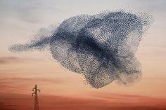 A Ballet Performed by Birds: Starling Murmuration Photos by Alain Delorme, via Visual News Flock Of Birds, Wild Birds, Birds In Flight, Pet Birds, Flying Birds, Tier Fotos, Foto Art, Natural Phenomena, Starling