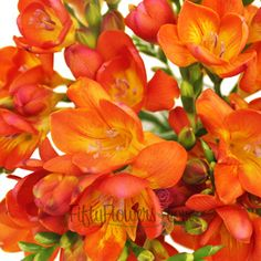 FiftyFlowers.com - Flaming Red Freesia Flower