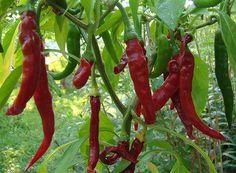 Le composant actif dans les piments comme le piment de Cayenne qui leur donne leur chaleur est appelé capsaïcine