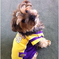 Browni says GO Lakers! #yorkie #browni