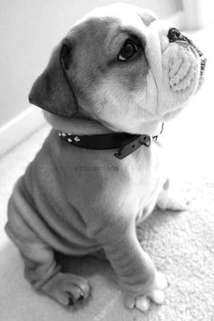 Funny pictures about Baby Bulldog. Oh, and cool pics about Baby Bulldog. Also, Baby Bulldog photos. Baby Animals Pictures, Animals And Pets, Funny Animals, Cute Animals, Wild Animals, Animals Planet, Cute Puppies, Cute Dogs, Dogs And Puppies
