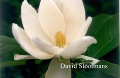Magnolia thompsoniana