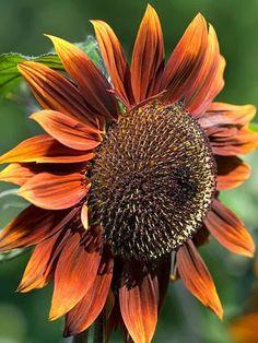 Chocolat sunflower