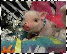 Mini Micro Pigs - Miniature Pigs - Teacup Pigs - Juliana Pigs
