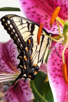 Butterfly on star gazer lily