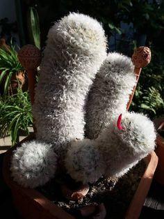 Mammillaria bocasana f.splendens