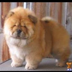 Chow chow puppy -  Did you say lint brush? He's so cute it doesn't matter.