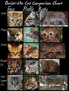 wild cats species comparison chart (Ocelot-like cats) by *HDevers on deviantART