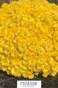 Perennial mums, like our Dendrathema 'Brilliant Igloo', offer a great option for pretty autumn flowers. Add them to your garden beds to let them become well-established in cooler weather so you'll have big, pretty mounds of flowers in fall! Autumn Flowers, Bright Flowers, Large Plants, Colorful Garden, Autumn Garden, Garden Beds, Green Leaves, Flower Decorations, Perennials