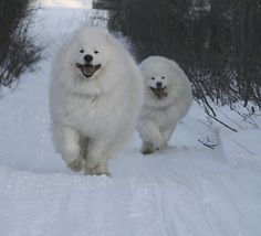 Kody & Quinn Samoyed by nwtarcticrose, via Flickr