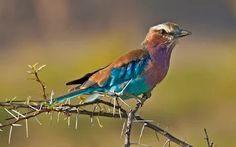 """Foto: """"Lleno de colores"""" El rodillo de pecho lila (Coracias caudatus) es un miembro de la familia del rodillo de pájaros.  Se encuentra ampliamente distribuida en África subsahariana y el sur de la Península Arábiga, prefiriendo los bosques abiertos y sabanas;  es en gran medida ausente de lugares sin árboles.  Por lo general, se encontró a solas o en parejas, se posa visible en las copas de los árboles, postes u otros puntos de vista de alta desde donde se puede observar insectos…"""