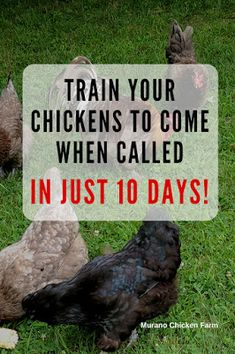 Train your chickens to come when called! Simple method to get your chickens to come running every time you call them! Raising Backyard Chickens, Keeping Chickens, Pet Chickens, Backyard Farming, Urban Chickens, Bantam Chickens, Hatching Chickens, Diy Chicken Coop Plans, Building A Chicken Coop