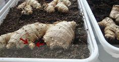 De komende blogposts staan een beetje in het teken van opgraven . Het is namelijk de periode dat veel van de gewassen die een groot deel van...