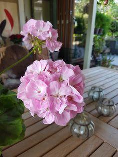 Husk å sjekke Pelargonium og de andre plantene som er i dvale. Vegetable Garden, Planters, Table Decorations, Vegetables Garden, Vegetable Gardening, Plant, Veggie Gardens, Window Boxes, Dinner Table Decorations