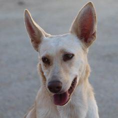 ACE Animal Care España - Djoef and Djaf were brought to us by their hunter. Animal Care, Pet Care, Corgi, Bring It On, Animals, Shelters, Animaux, Corgis, Animal