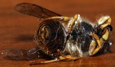Who Will Save The Honey Bee EU Mulls Pesticide Ban While US Set to Approve More