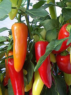 Chilli Pepper Caldero: A good plant for windowsill growing as it stays neat and compact. Produces a a heavy crop of jalapeno like medium to large fruits with medium heat which ripen from green through cream to bright red. Great on pizzas!