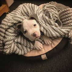 A beautiful pitty complete with blankie... #PitBull