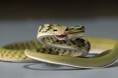 Gunther's Vine Snake by Official San Diego Zoo, via Flickr