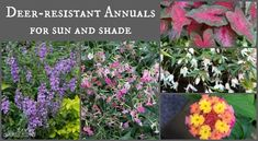 Deer-Resistant Annuals: Colorful Choices for Sun and Shade - Modern Flowering Shrubs For Shade, Small Evergreen Shrubs, Evergreen Groundcover, Shade Shrubs, Shade Plants, Deer Resistant Landscaping, Deer Resistant Perennials, Full Sun Flowers, Full Sun Plants
