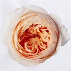 David Austin Juliet Roses are peach garden roses & usually available all year round. 40cm stem lengths this wholesale cut flower is wholesaled in 12 stem wraps.